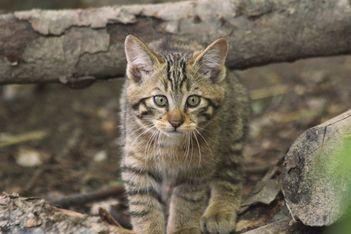 Découvrez en famille les nouveaux pensionnaires du parc zoologique de la Garenne dans leur habitat naturel  : de mignons chatons forestiers