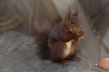 Tombé de son nid bébé, ce petit écureuil, après avoir été soigné au Centre de soins , passe désormais ses journées en compagnie des oiseaux.