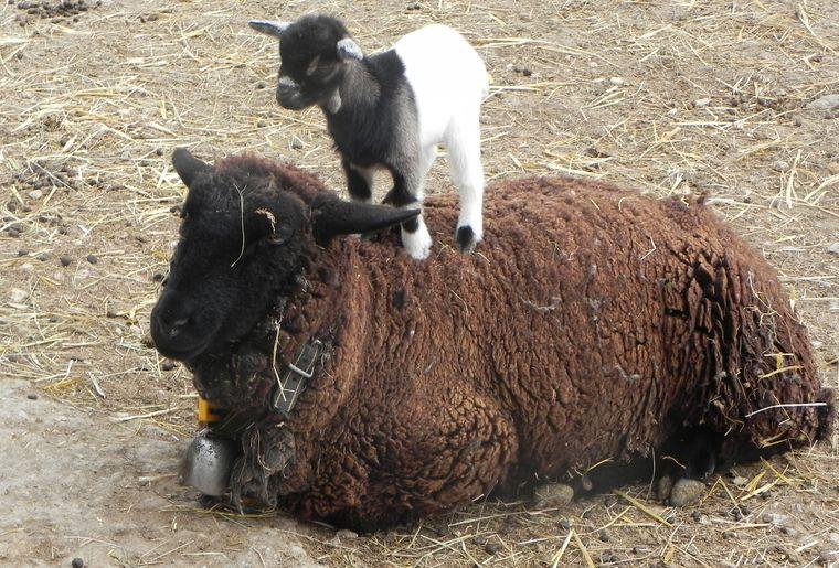 bébé chèvre avec mouton 006.JPG