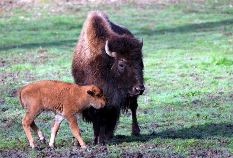 Bison des plaines d'Amérique, naissance 2012.JPG