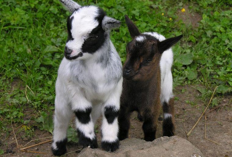 Chèvres naines, naissance 2012.JPG