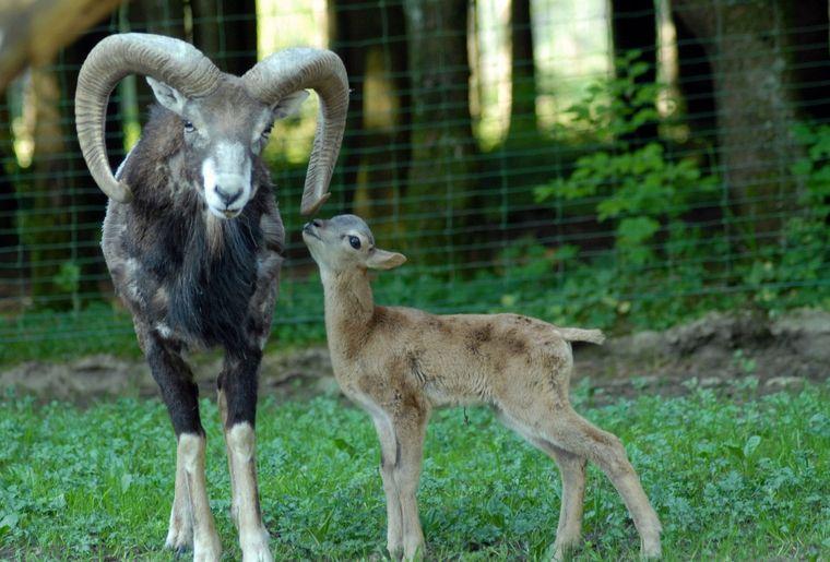 Mouflon de Corse, naissance 2012.jpg