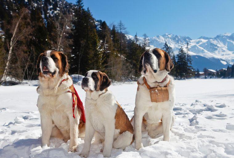 balade-chiens-saint-bernard-7.jpg