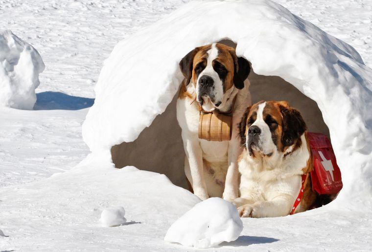 balade-chiens-saint-bernard-8.jpg