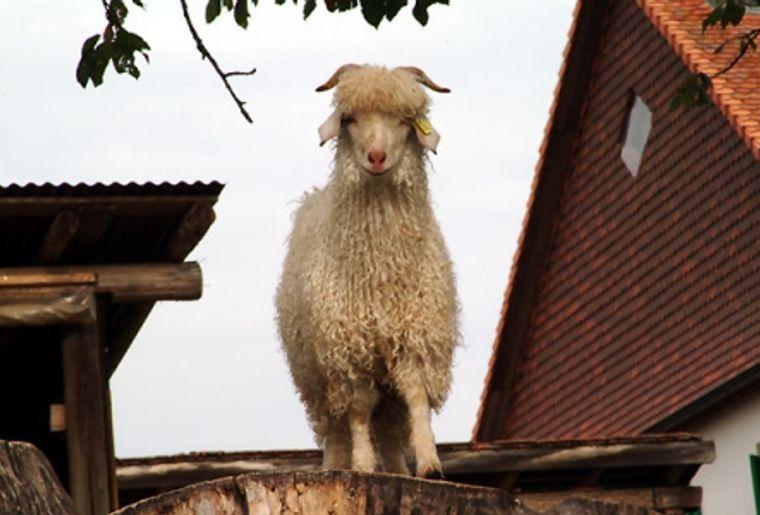 Situé à Ropraz (VD), le Mohair du Jorat est un élevage de chèvres angora.jpg