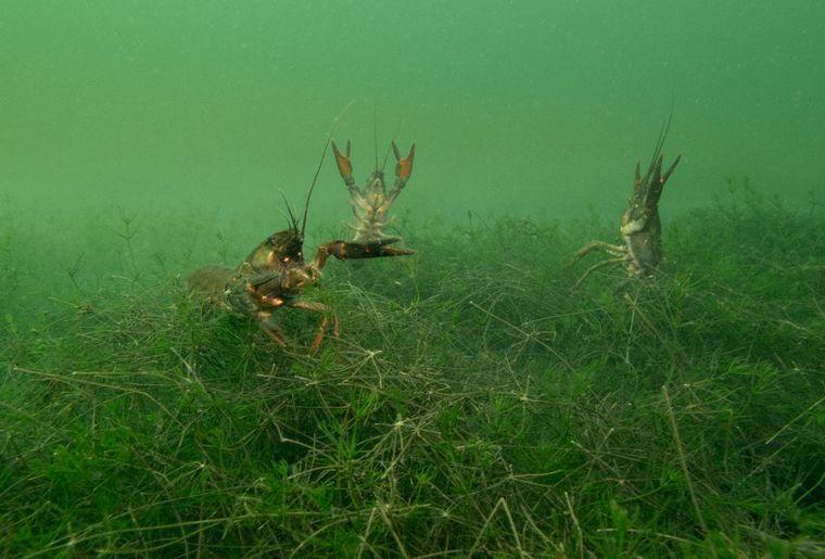 Ecrevisses en mode attaque à l'arrivée du plongeur photographe à St-Prex (c) Patrick Comminges.jpg