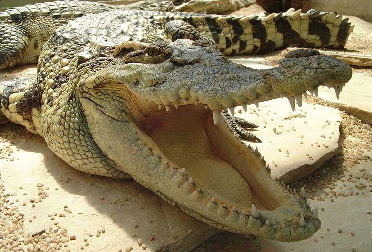 Tropiquarium de Servion_Crocodile du Siam.jpg