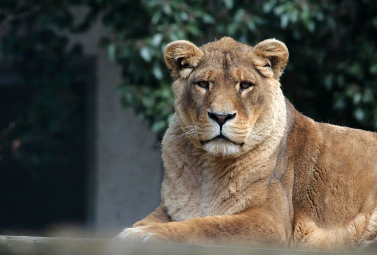 Zoo de Servion_Lion.JPG