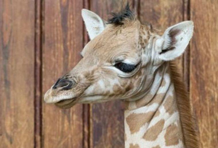 girafe_news624.jpg