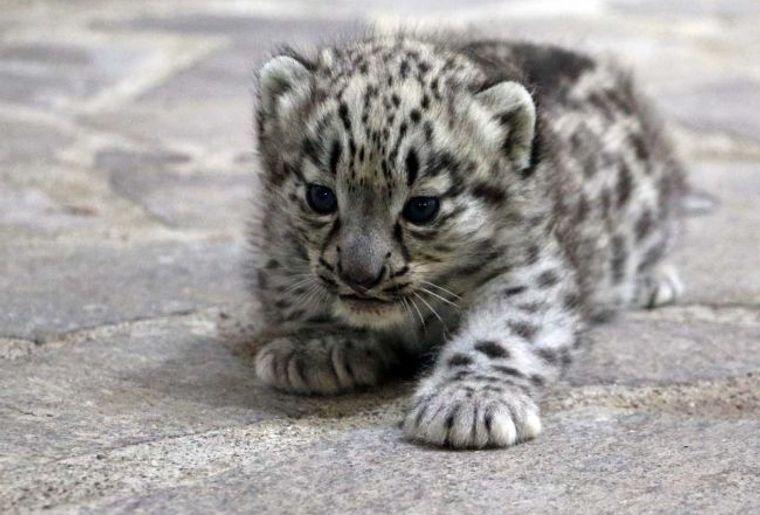 Carnet noir mort des deux petites panth res des neiges du zoo de servion actualit s - Bebe du jaguar ...