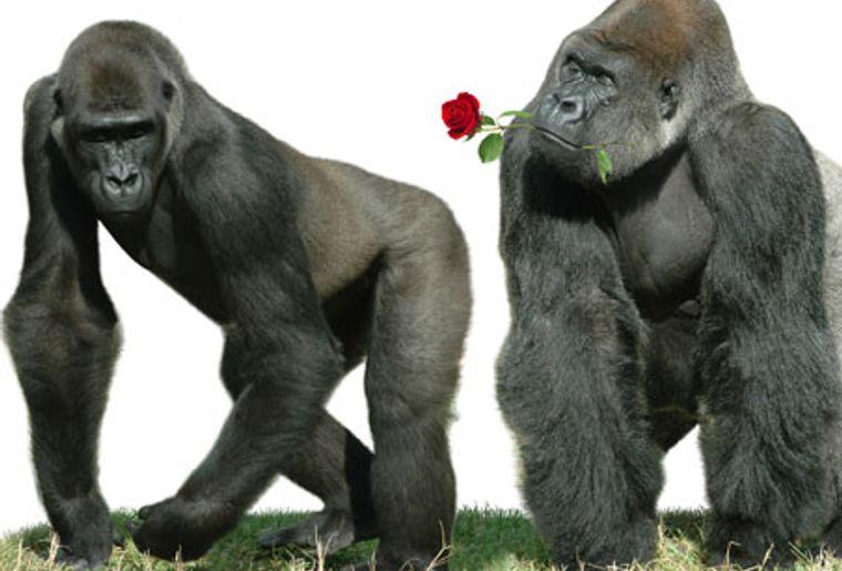 gorilles-st-valentin.jpg