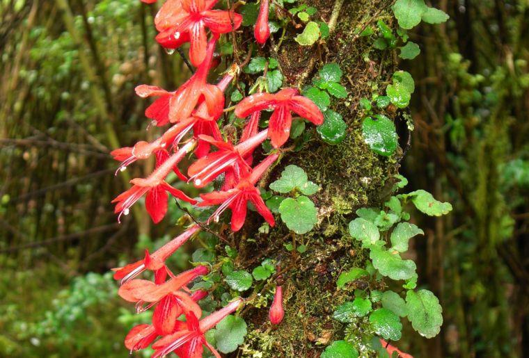 Asteranthera ovata Chili.jpg