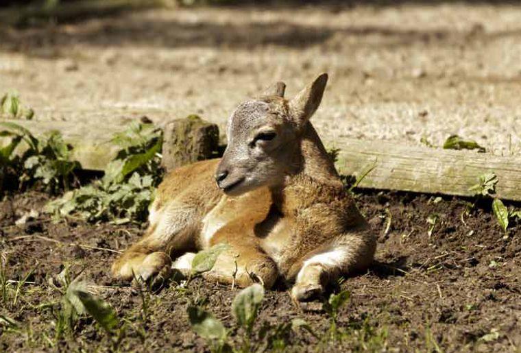 Mouflon2016.jpg