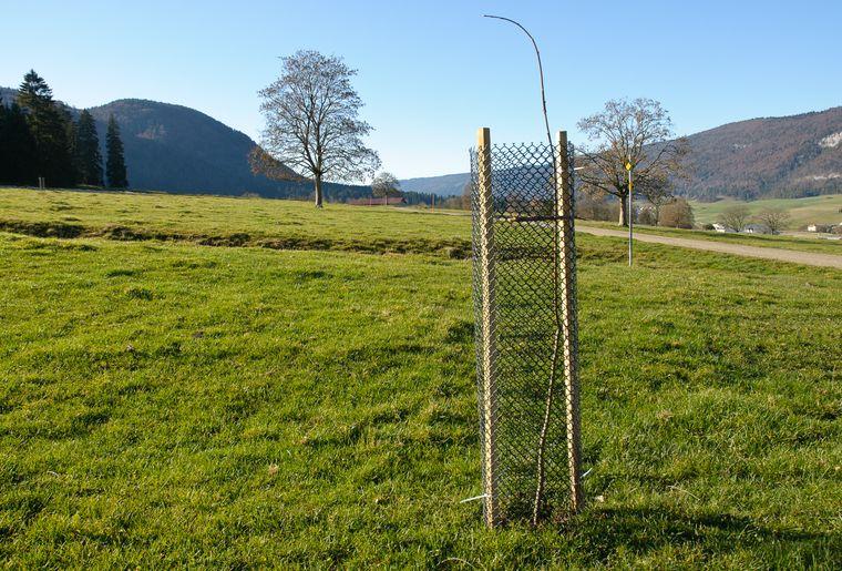 Un des plus de 150 jeunes arbres plantés