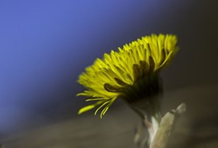 coltsfoot-697839__180.jpg