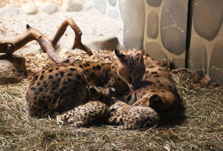 Servals3 (002).jpg