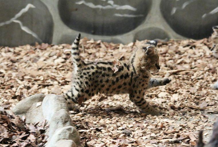 Servals2.jpg