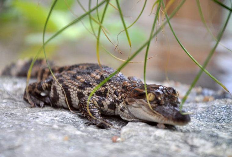 naissance-crocodile-720x478.jpg