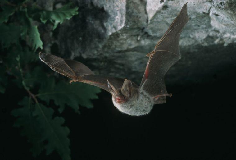 Myotis-bechsteini-Emmanuel-Rey-CCO.jpg