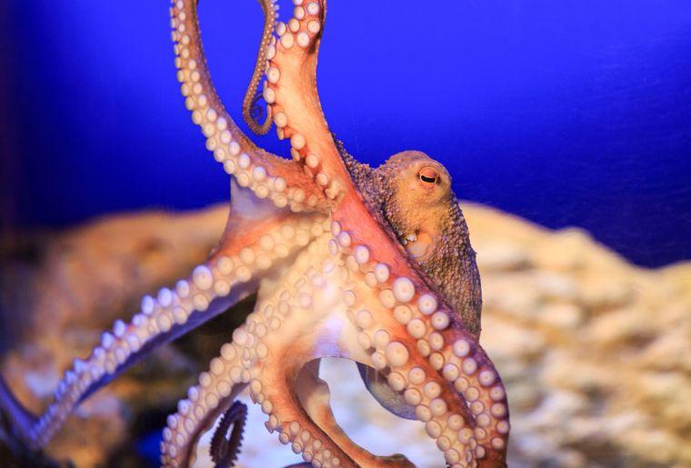 Oktopus (C) SEA LIFE_1.jpg