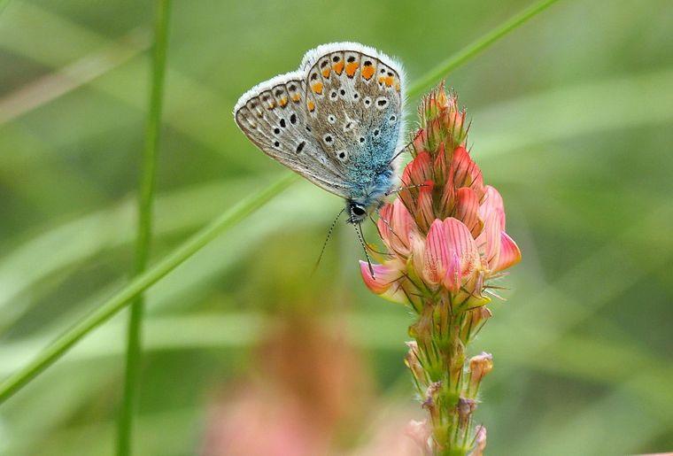 papillon-schilliger.jpg
