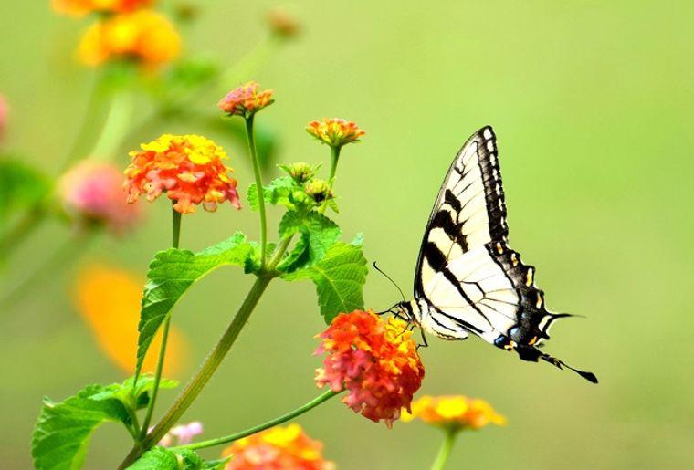 papillon-schilliger-2.jpg