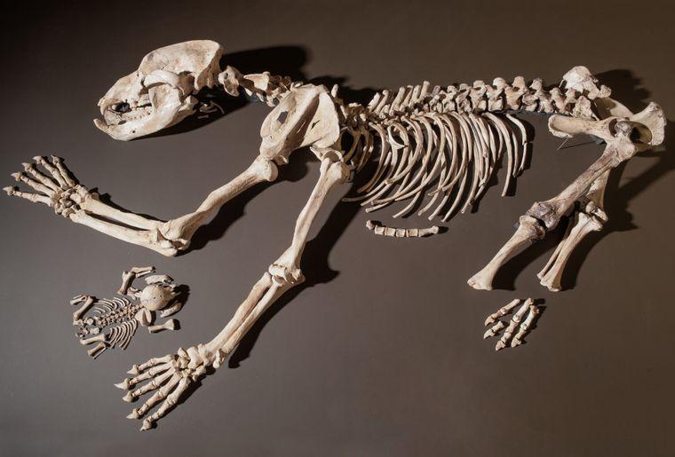 4_-_Squelette_de_femelle_ourse_des_cavernes_et_de_son_ourson[1].jpg