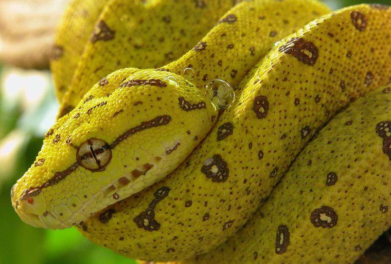 Morelia viridis light.jpg