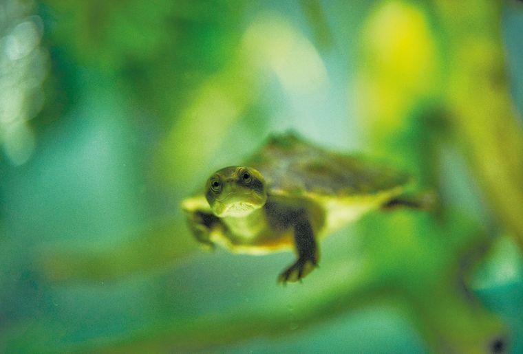 aquatis-reptile-tortue-a-nez-de-cochon.jpg