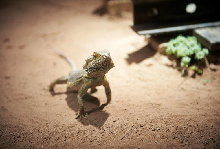 aquatis-reptile-agame-barbu.jpg