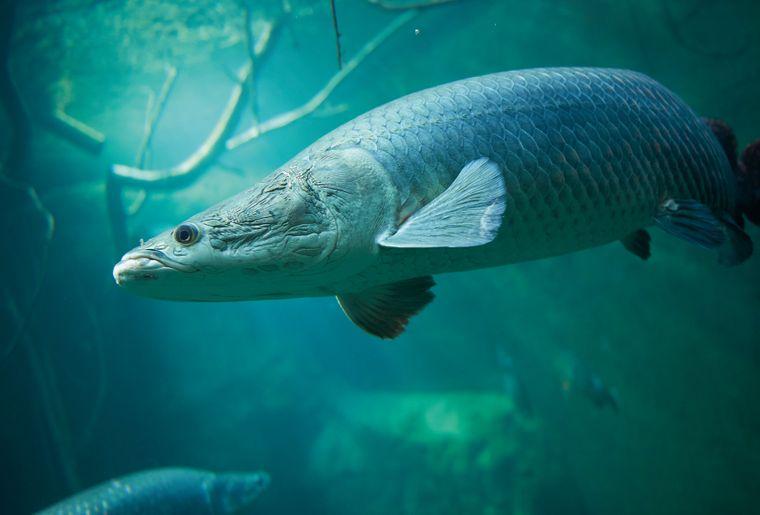 aquatis-poisson-arapaima.jpg