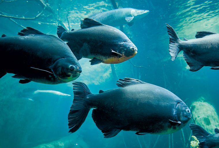 aquatis-poisson-pacu.jpg