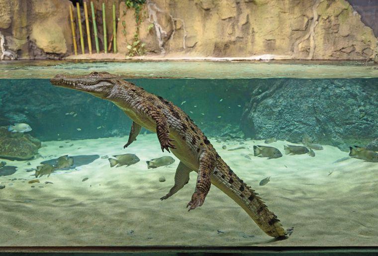 aquatis-reptile-crocodile-du-desert.jpg