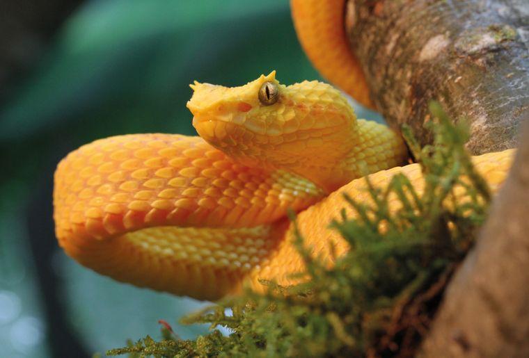 aquatis-reptile-vipere-de-schlegel-bothriechis-schlegelii.jpg