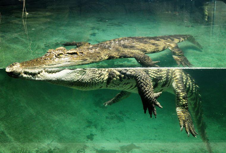 Crocodylus siamensis - crocodile du Siam.jpg