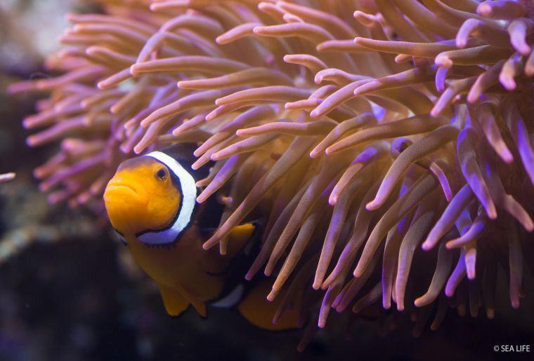 Clownfisch_SEA LIFE.jpg