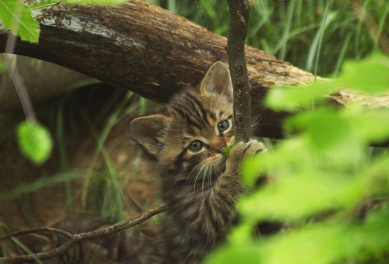 chatons-forestiers-chat-garenne-zoo .jpeg