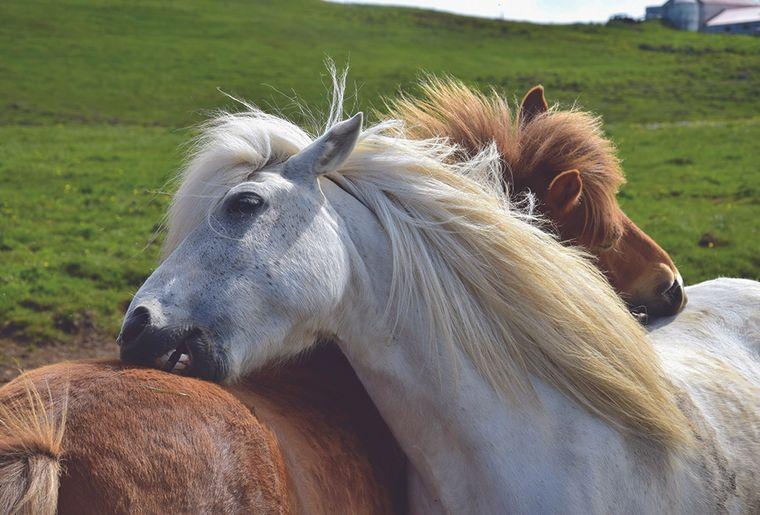 chevaux se grattent AdobeStock_231560975.jpg