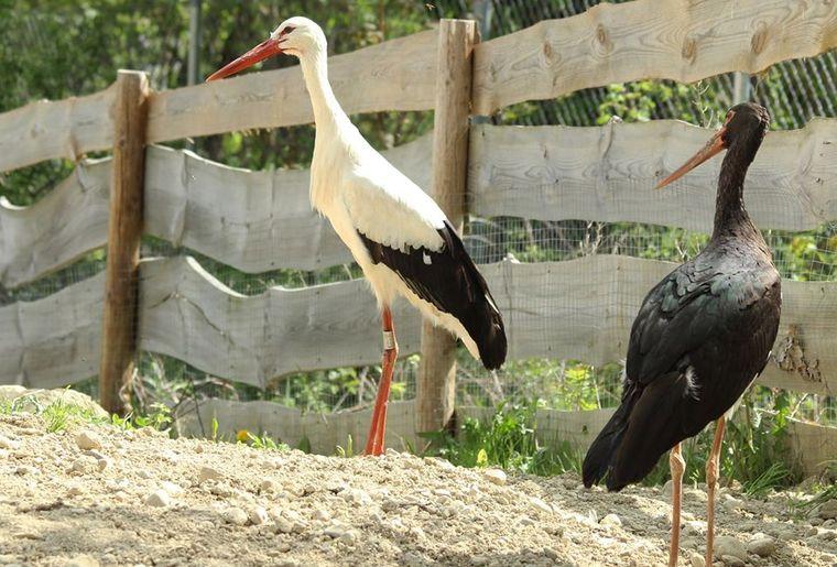 Cigognes blanche et noire.jpg