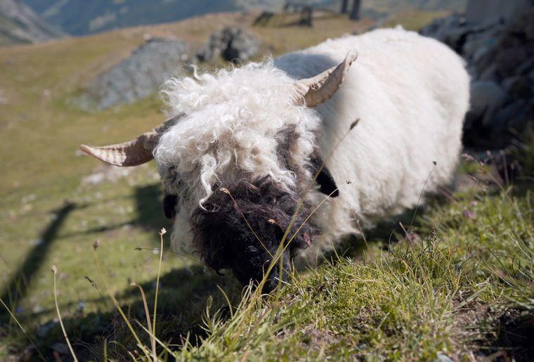 Zermatt Mouton nez noir 2.jpg