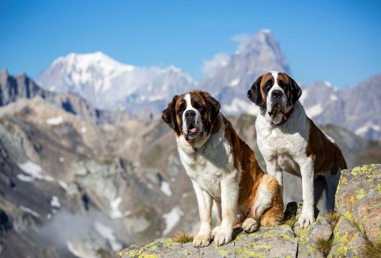 balade-chiens-saint-bernard-1.JPG
