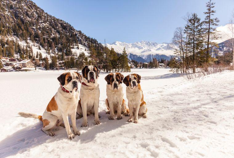 balade-chiens-saint-bernard-4.jpg