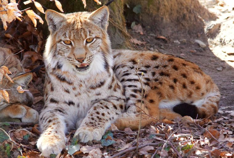 sized_Lynx 10_@La Garenne.jpg