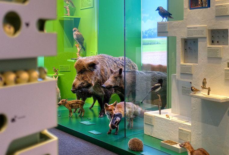 Naturmuseum_Solothurn_Ausstellung_1_Wilschwein © Silvan Thüring.jpg