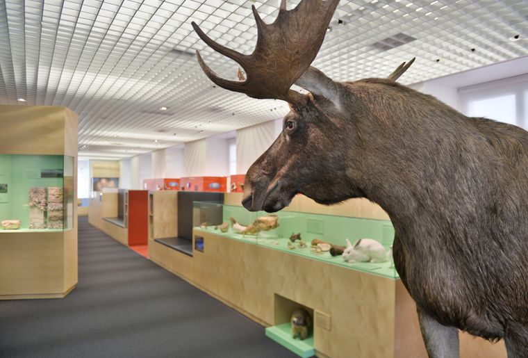 Naturmuseum_Solothurn_Ausstellung_13_Elch ©Nicole Hänni.jpg