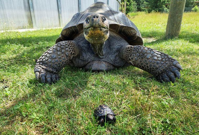 tortue-galapagos-servion-papa