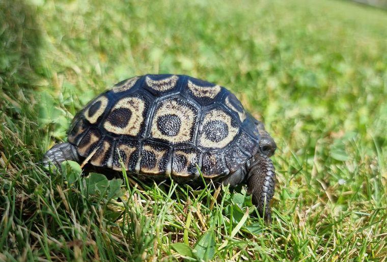 tortue-galapagos-servion-bebe