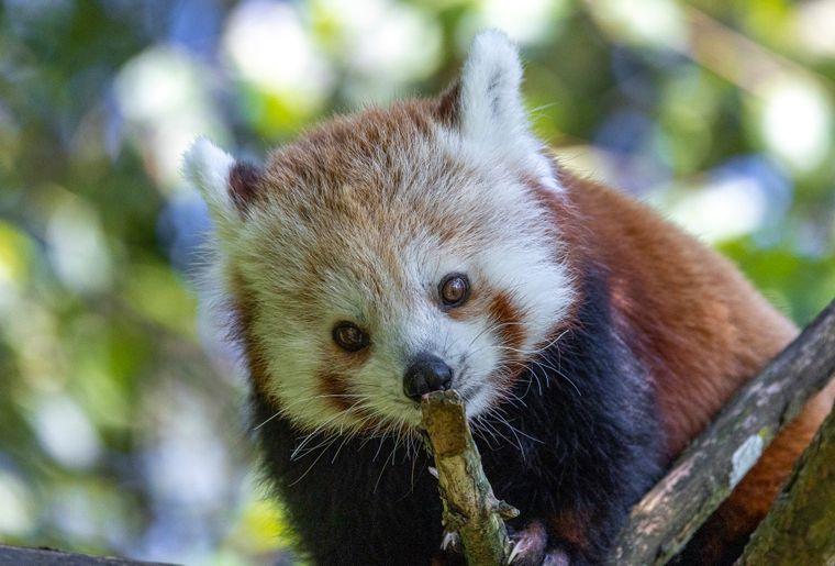 panda-roux-zoo-zurich-1