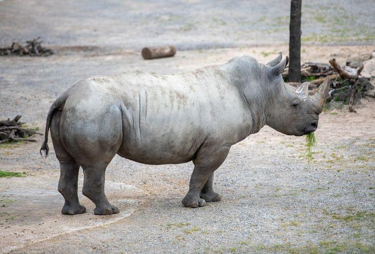 rhinoceros-blanc-zoo-zurich
