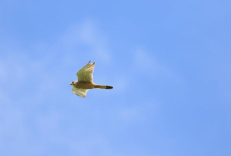 faucon-crecerelle-3